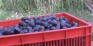 history_dates_fruit_7 (1)